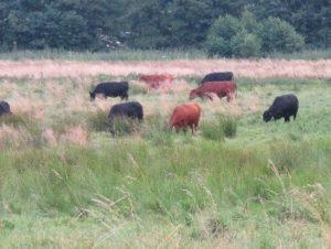 Anspruchslosigkeit der Angus-Rinder