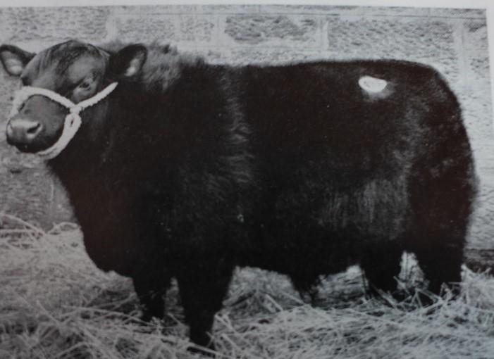 Angus-Bulle von früher