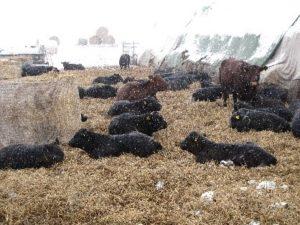 Robustheit der Angus-Rinder