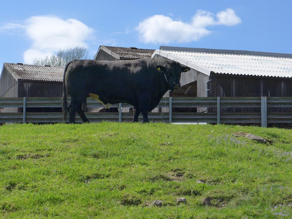 Cumbria Beef Tour Bull